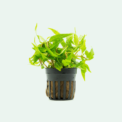 Shop Staurogyne Porto Velho Aquatic Plants - Glass Aqua