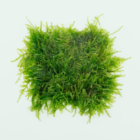 Shop Weeping Moss Large Mat Aquatic Plants - Glass Aqua