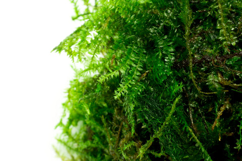 Shop Weeping Moss Aquatic Plants - Glass Aqua