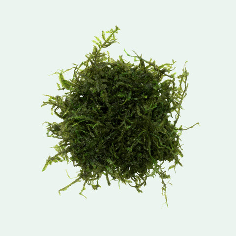 Shop Christmas Moss Aquatic Plants - Glass Aqua