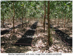 Using Biochar with Trees