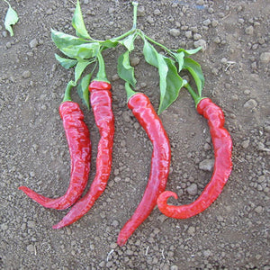Cayenne Red Thick
