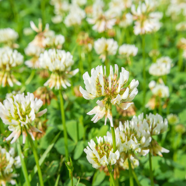 Ladino White Clover