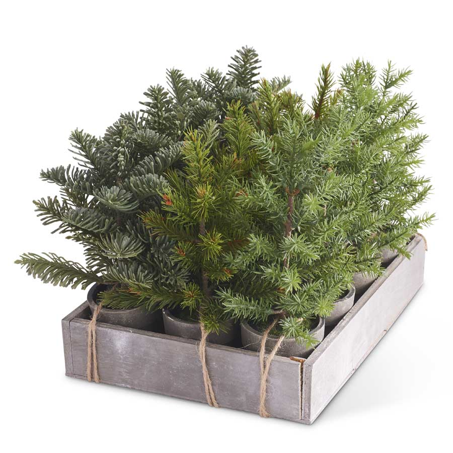 12 Assorted Potted Short Pine w/Wood Tray