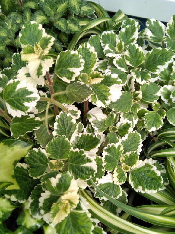 Swedish Ivy, Variegated