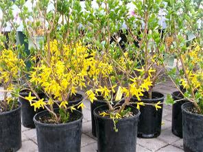 Forsythia, Northern Gold