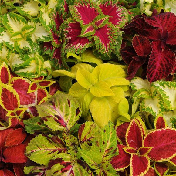 Coleus - 6 packs