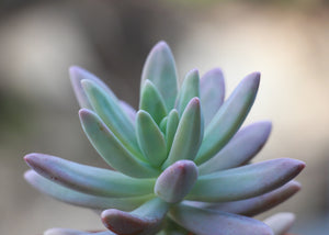 Graptosedum 'Darley Sunshine'
