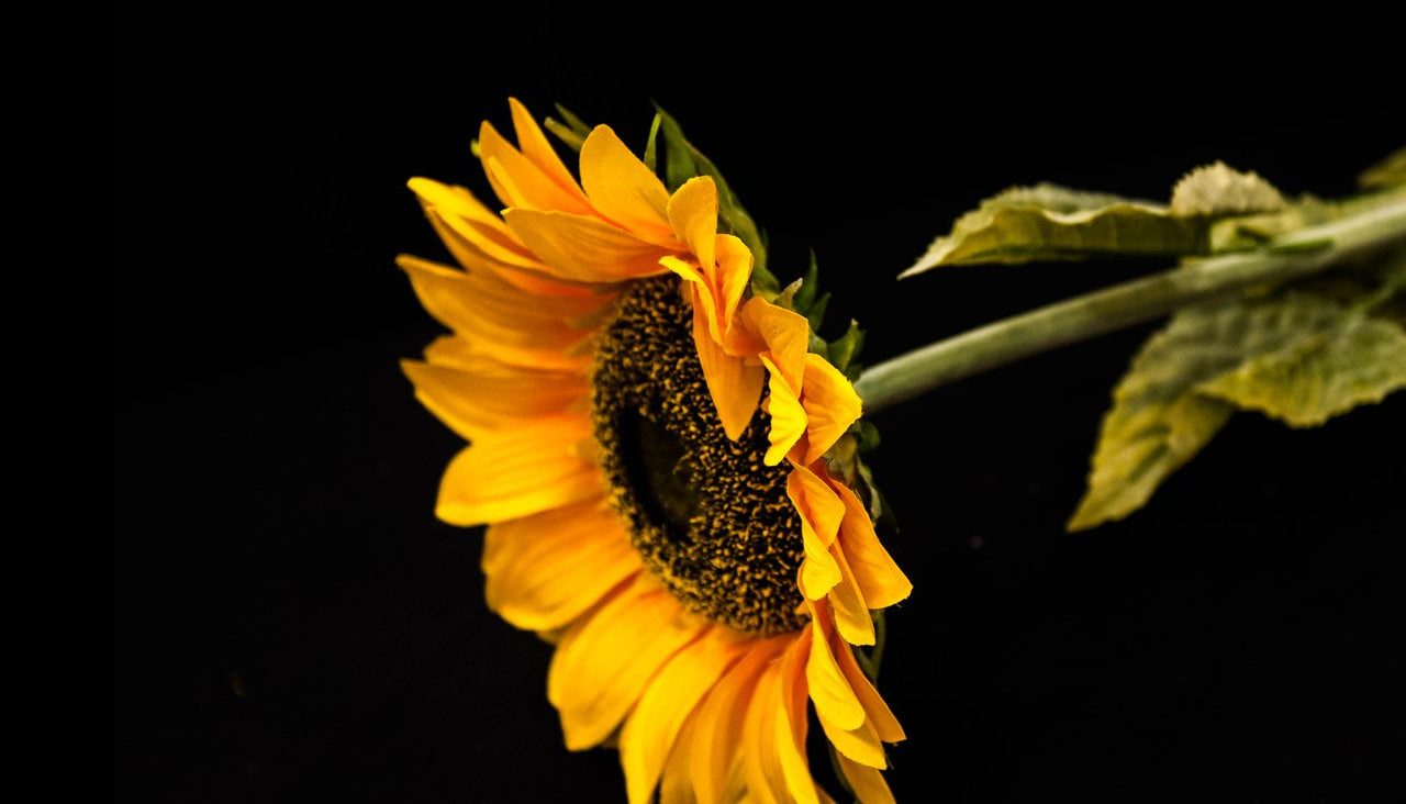 HCFL5299 - Long Stem Yellow Sunflower