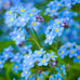 Oregon Forget-Me-Not Seed Packet