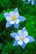 Alaska Blue Columbine Seed Packet