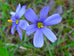 Black Hills Blue Eyed Grass Seed Packet
