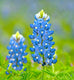 Texas Bluebonnet 1,000 Seeds