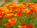 California Poppy Seed Packet