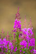 Alaska Fireweed Seed Packet