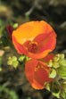 Red Rock Desert Globemallow Seed Packet