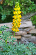 San Francisco Golden Lupine Seed Packet