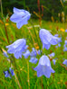 Washington Bluebell Seed Packet