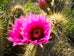 Arizona Hedgehog Cactus Seed Packet