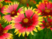 New Hampshire Indian Blanketflower Seed Packet