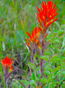 Maine Indian Paintbrush Seed Packet