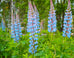 California Wild Lupine Seed Packet