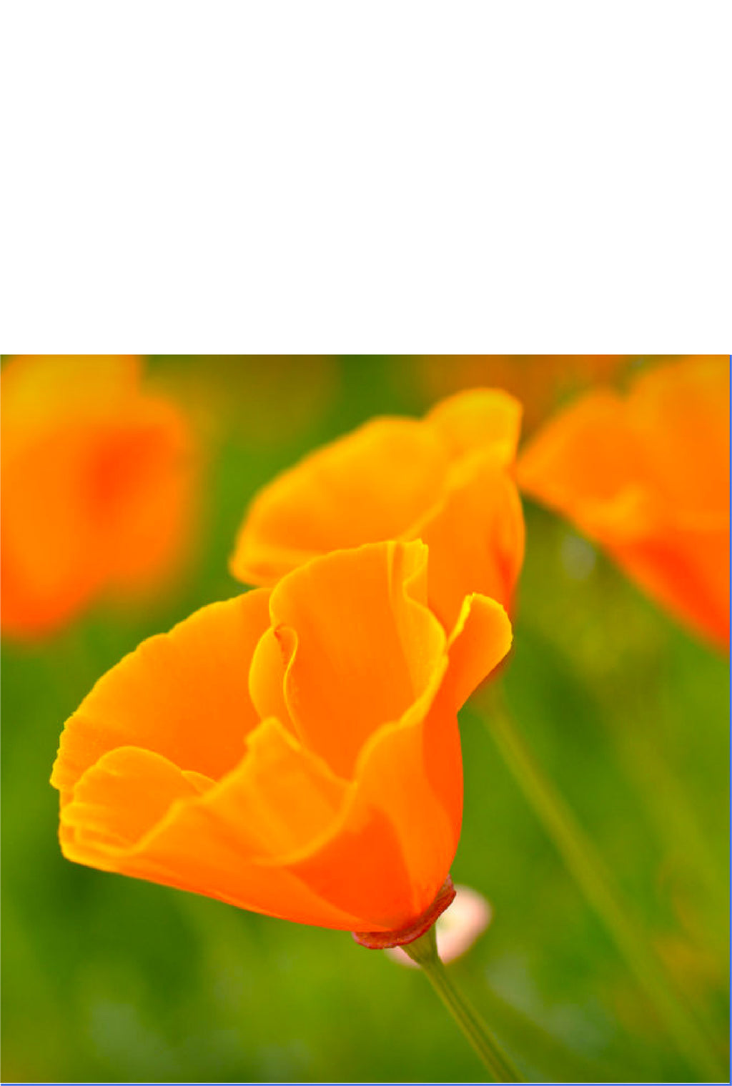 California Poppy - Over 20,000 Seeds