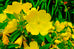 Great Lakes Evening Primrose Seed Packet