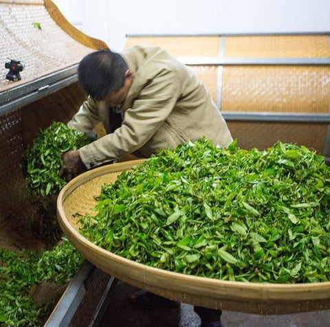 A man feeds tea leaves into a cylindrical tumbling machine