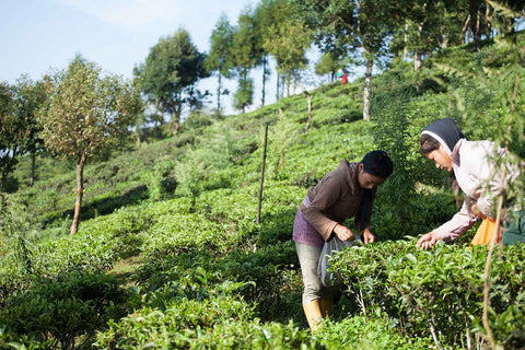 Tea growers picking tea leaves on a hillside