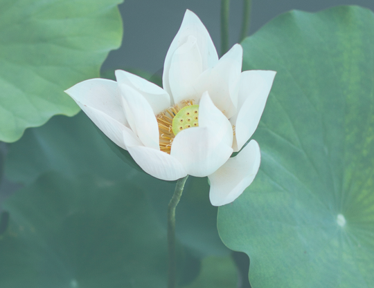 THE INGREDIENTS OF OUR LOTUS FLOWER FRAGRANCE
