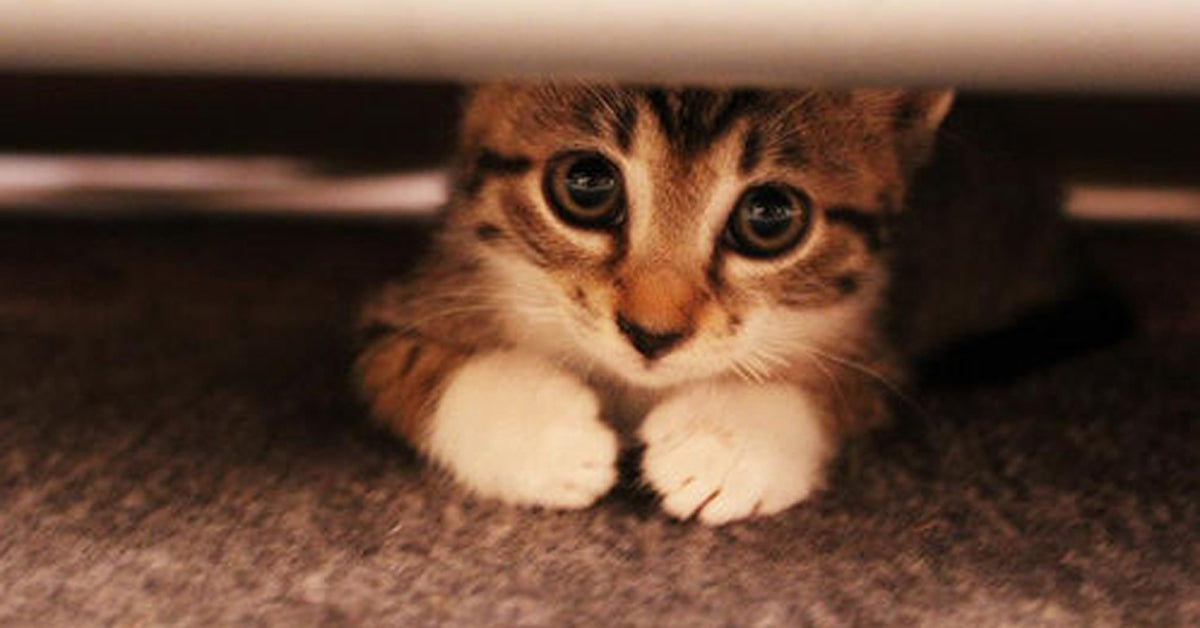 Cat hiding under sofa.