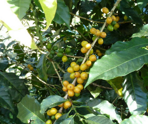 Yellow Catuai cherries