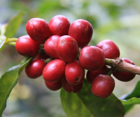 Caturra coffee cherries