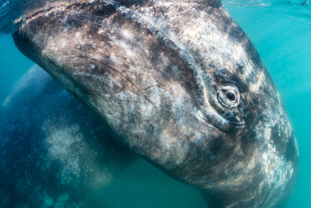 Gray Whale Greeting