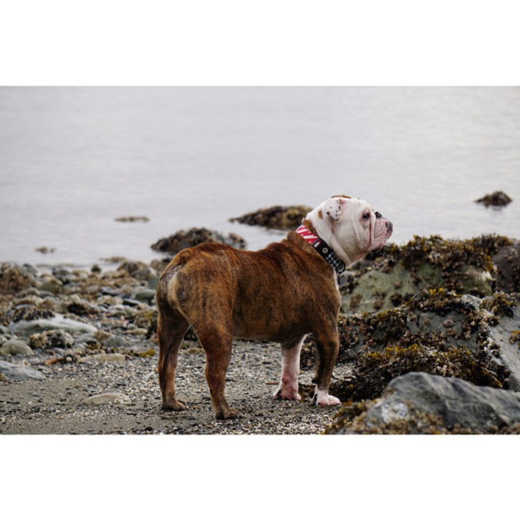 English bulldog in the tide pools.