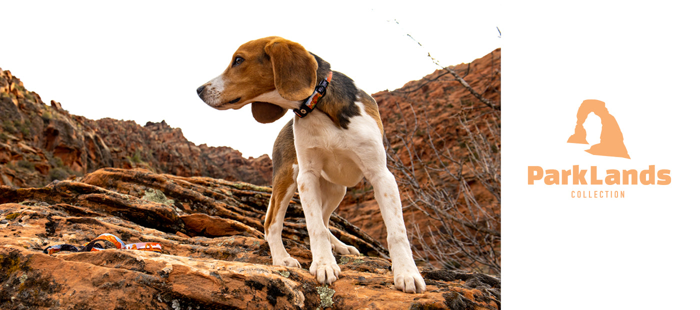 Beagle puppy standing on red rocks looking cool.
