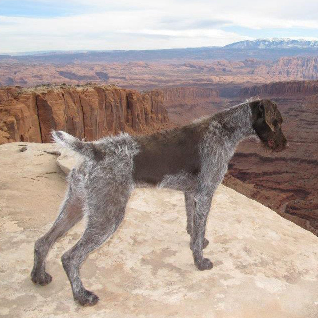 Forelle the dog overlooking a beautiful canyon in Utah.