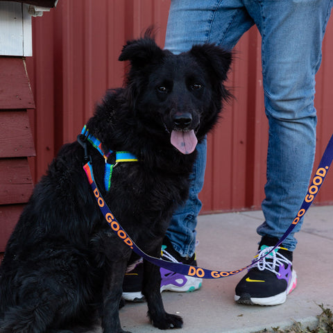 Black dog with colorful harness & leash