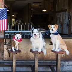 JD Platt's show dogs on barstools in front of the American flag.