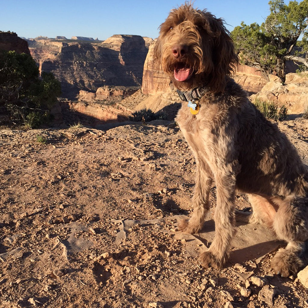 Juno the dog in a beautiful canyon setting in Utah.