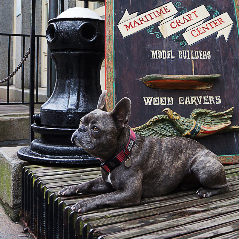 Nixon the french bulldog on wooden deck in NYC.