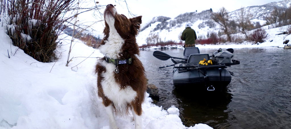 Working dog in the snow wearing Wolfgang BrownTrout dog collar next to a river and fly fishing boat.