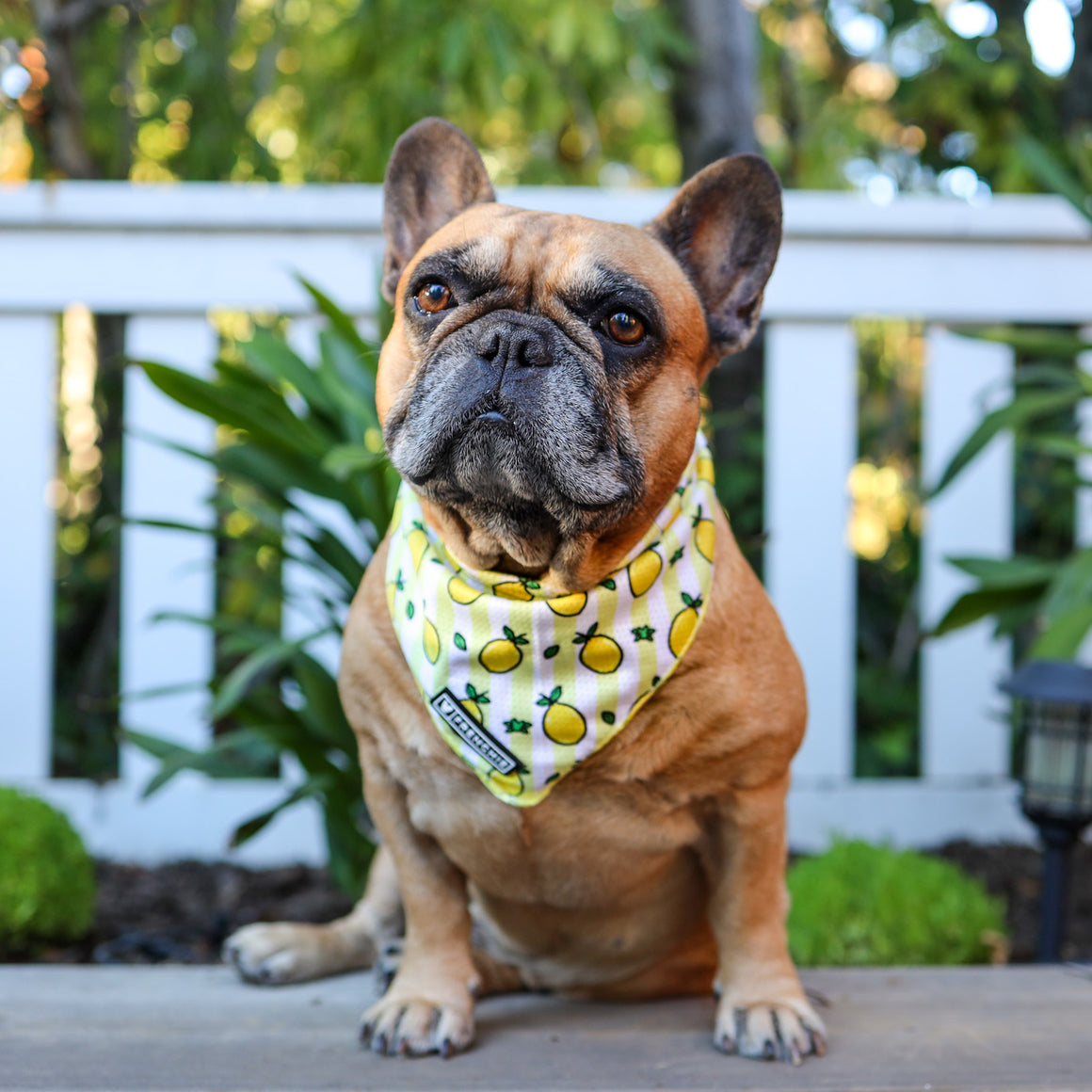 Frenchie Cooling Bandana - Lemons