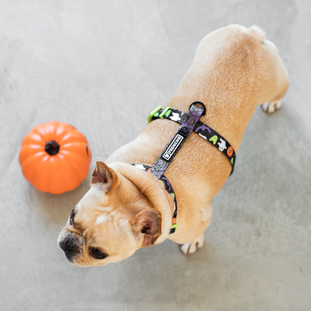Matching Set- Frenchie Strap Harness and Comfort Leash- Trick or Treat
