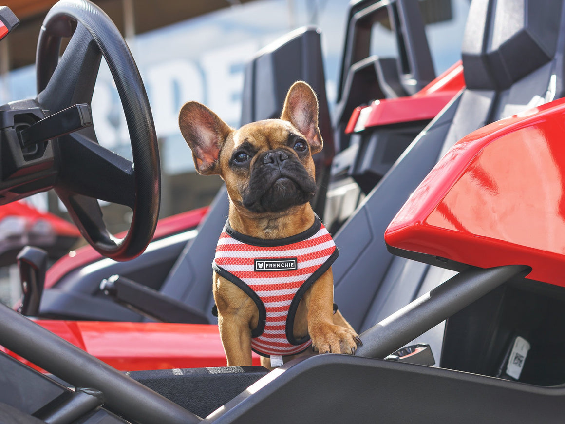 Frenchie Duo Reversible Harness - Bad To The Bone