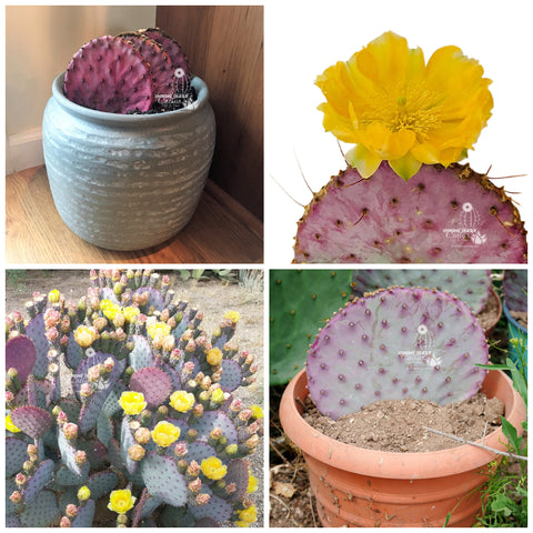 how to plant cactus cuttings from looking sharp cactus