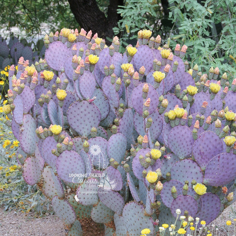 how to plant prickly pear cactus cuttings