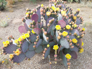 Purple Cactus - 3 Prickly Pear Pads - fs
