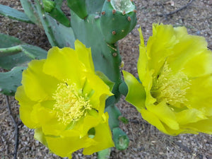 Large Prickly Pear Cactus